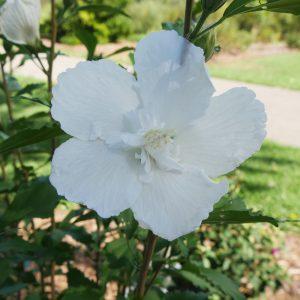 HIBISCUS WHITE PILLAR ROSE OF SHARON