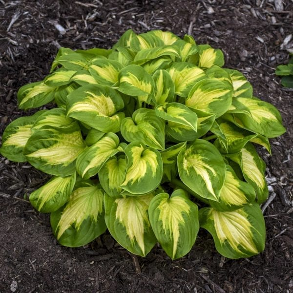 HOSTA SHADOWLAND ETCHED GLASS HOSTA