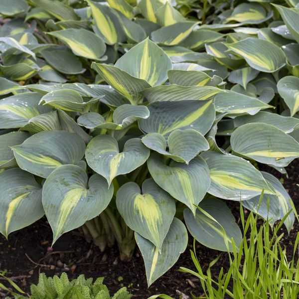HOSTA TOUCH OF CLASS HOSTA