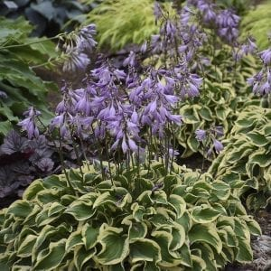HOSTA WRINKLE IN TIME HOSTA