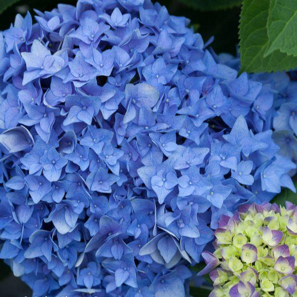HYDRANGEA LETS DANCE RHYTHMIC BLUE BIGLEAF HYDRANGEA