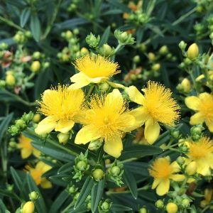 HYPERICUM BLUES FESTIVAL ST JOHNS WORT