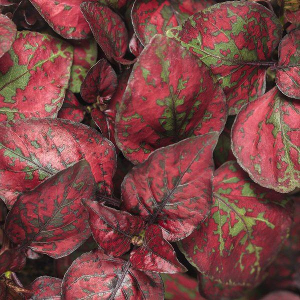 HYPOESTES HIPPO RED POLKA DOT PLANT