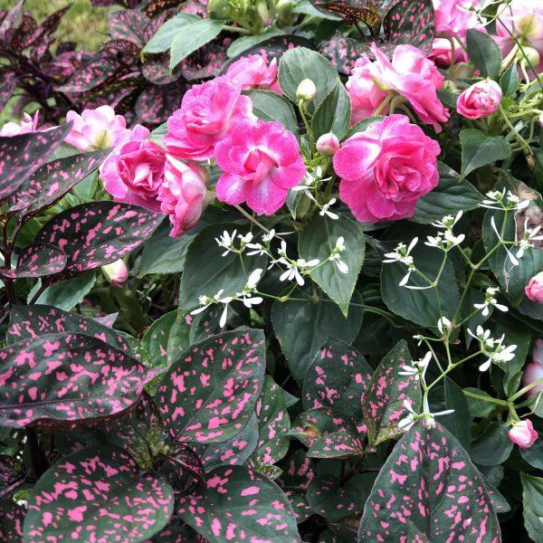 HYPOESTES HIPPO ROSE POLKA DOT PLANT