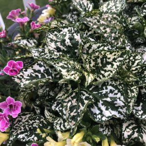 HYPOESTES HIPPO WHITE POLKA DOT PLANT