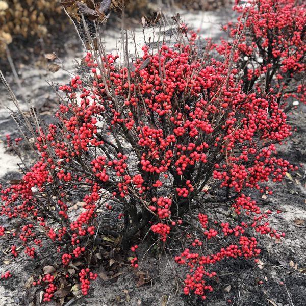ILEX LITTLE GOBLIN RED WINTERBERRY HOLLY