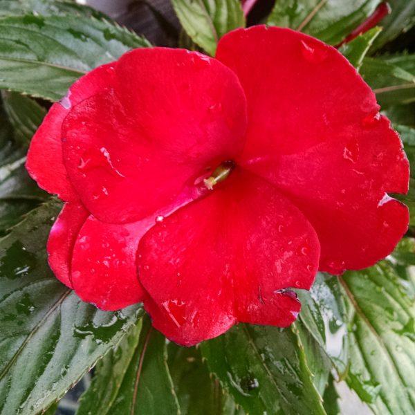 IMPATIENS INFINITY RED NEW GUINEA IMPATIENS