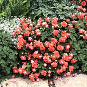 IMPATIENS ROCKAPULCO ORANGE DOUBLE IMPATIENS