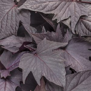 IPOMOEA SWEET CAROLINE BEWITCHED AFTER MIDNIGHT SWEET POTATO VINE