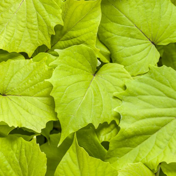 IPOMOEA SWEET CAROLINE BEWITCHED GREEN WITH ENVY SWEET POTATO VINE