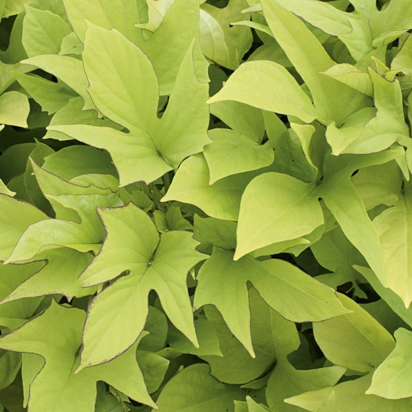IPOMOEA SWEET CAROLINE LIGHT GREEN POTATO VINE