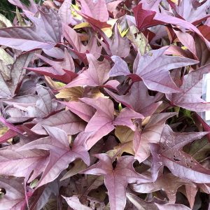 IPOMOEA SWEET CAROLINE RED HAWK SWEET POTATO VINE