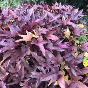 Ipomoea - Sweet Potato Vine