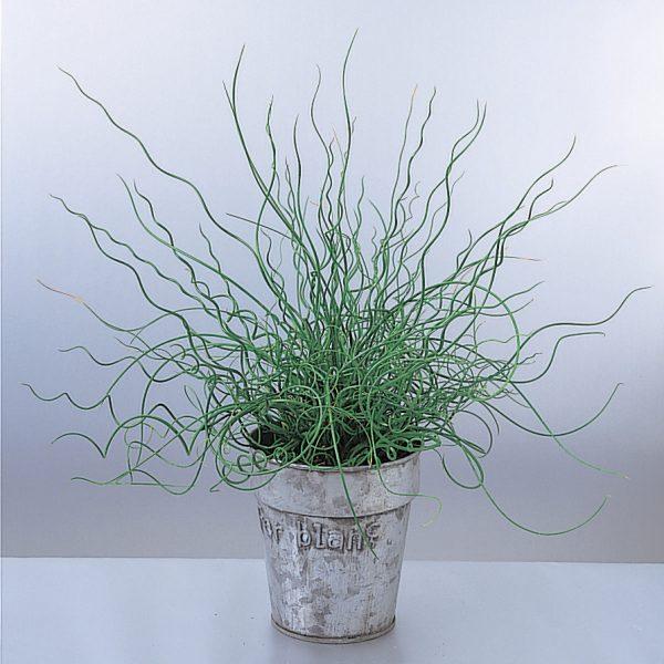 JUNCUS GRACEFUL GRASSES SPIRALIS SOFT RUSH