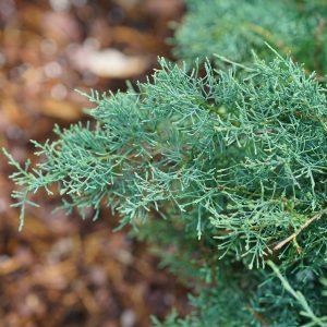 Juniper - Juniperus