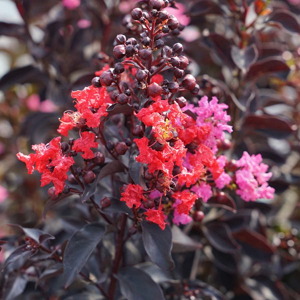 LAGERSTROEMIA CENTER STAGE RED CRAPEMYRTLE