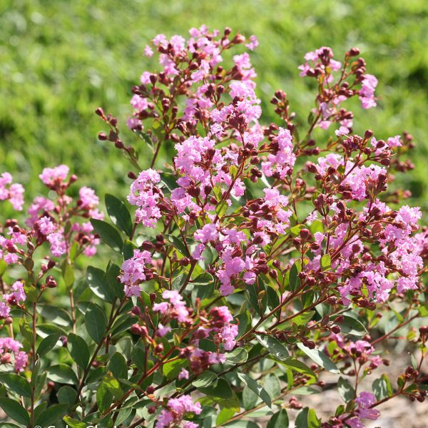 LAGERSTROEMIA INFINITINI ORCHID CRAPEMYRTLE