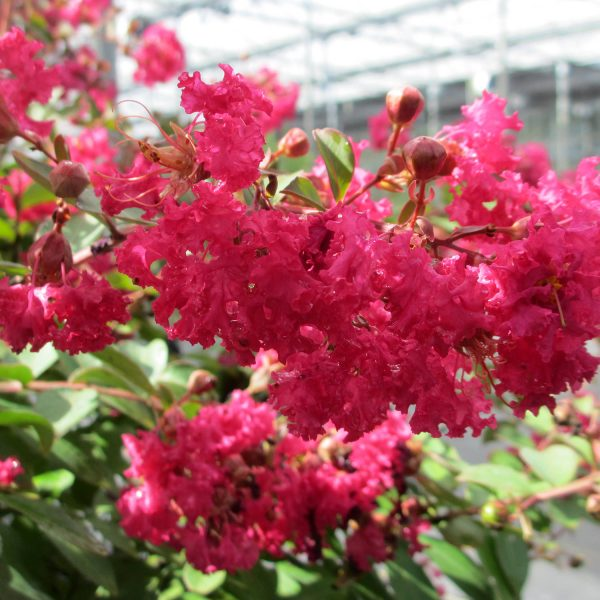 LAGERSTROEMIA INFINITINI WATERMELON CRAPEMYRTLE