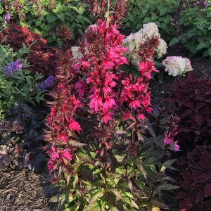 LOBELIA STARSHIP DEEP ROSE CARDINAL FLOWER