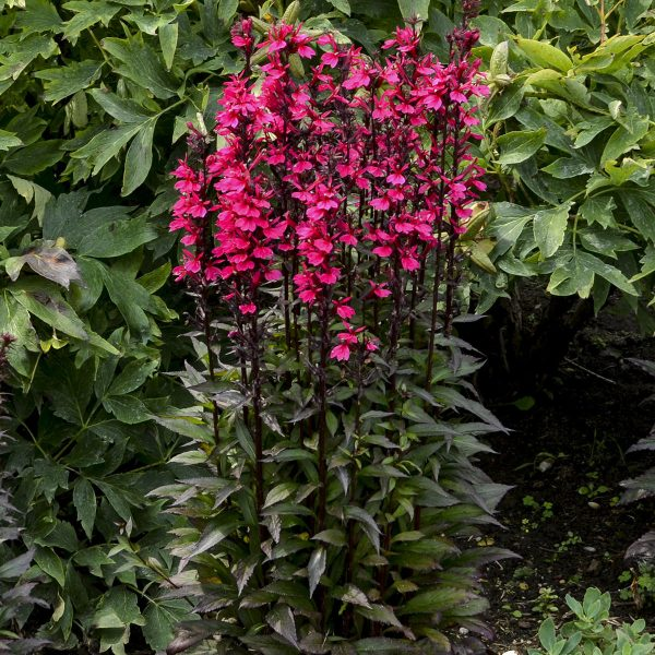 LOBELIA STARSHIP DEEP ROSE CARDINAL FLOWER