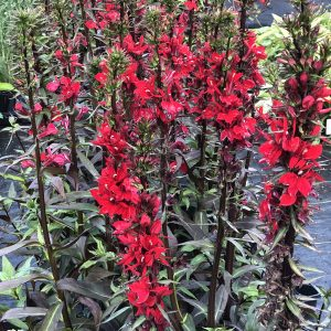LOBELIA VULCAN RED CARDINAL FLOWER