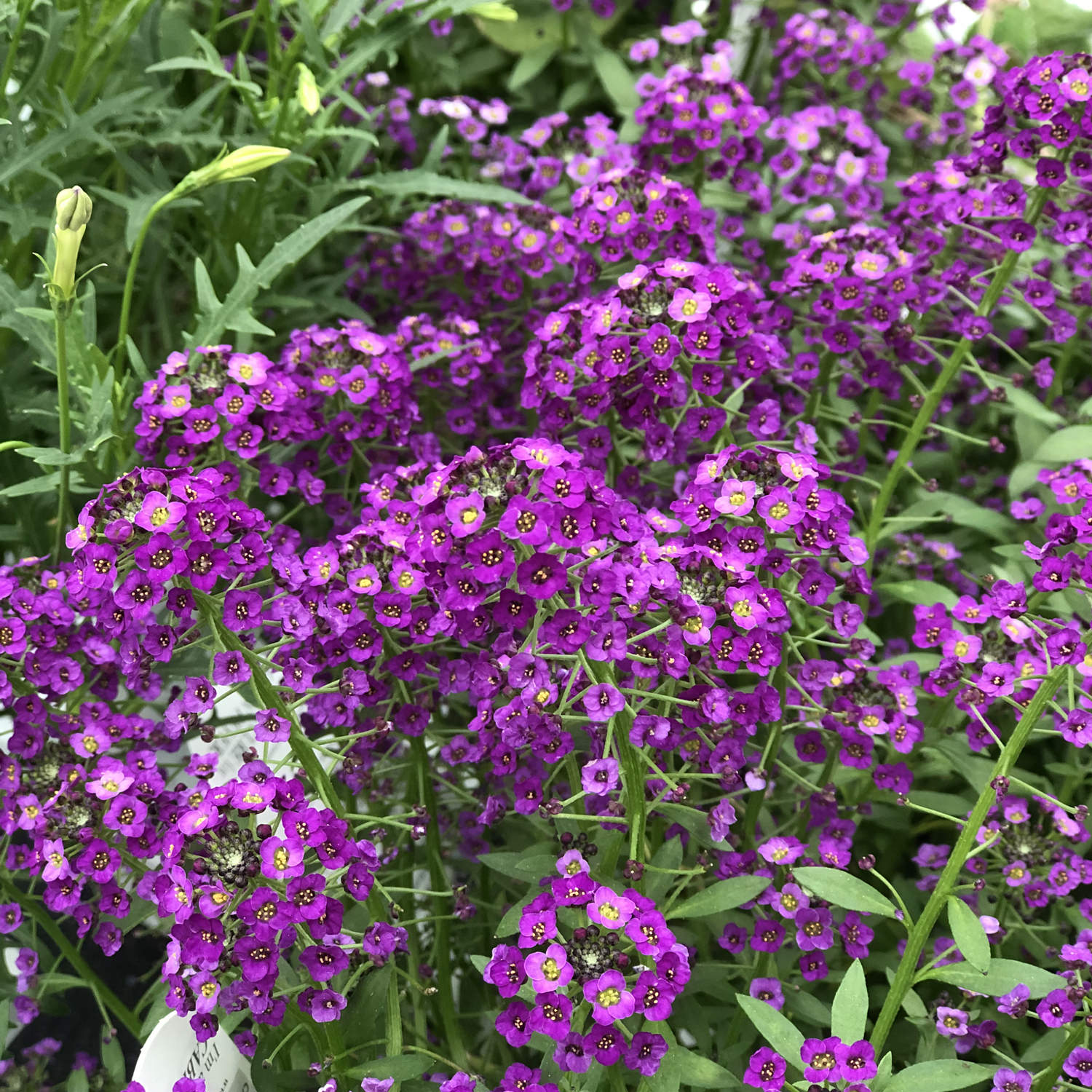 Lobularia Dark Knight Buy Lobularia Annuals Online