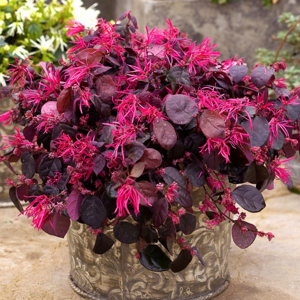 LOROPETALUM JAZZ HANDS BOLD CHINESE FRINGE FLOWER