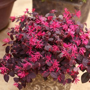Chinese Fringe Flower - Loropetalum