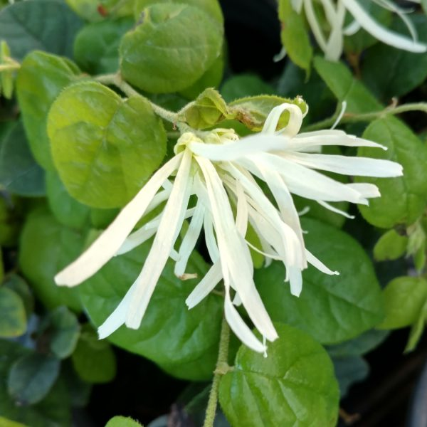 LOROPETALUM JAZZ HANDS DWARF WHITE CHINESE FRINGE FLOWER