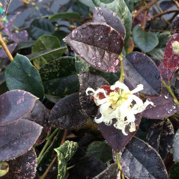 LOROPETALUM JAZZ HANDS NIGHT MOVES CHINESE FRINGE FLOWER