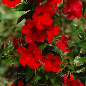 MANDEVILLA SUN PARASOL GIANT RED EMPEROR MANDEVILLA