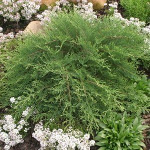 Siberian Cypress - Microbiota