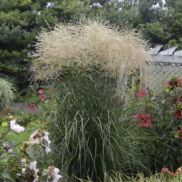 MISCANTHUS ENCORE ORNAMENTAL GRASS