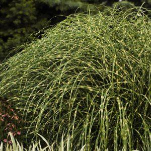MISCANTHUS LITTLE ZEBRA DWARF ZEBRA GRASS
