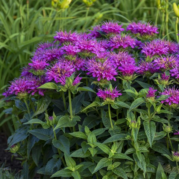 MONARDA PARDON MY PURPLE BEE BALM