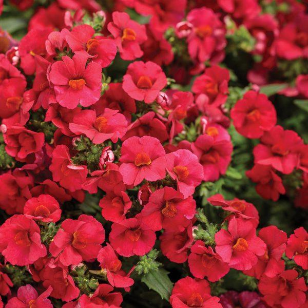 NEMESIA SUNSATIA CRANBERRY RED NEMESIA