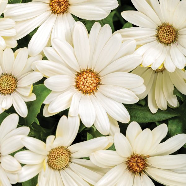 OSTEOSPERMUM BRIGHT LIGHTS WHITE AFRICAN DAISY