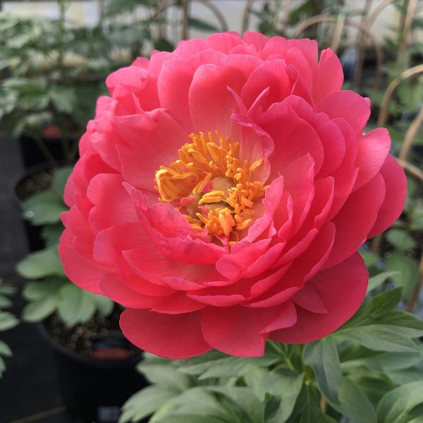 PAEONIA CORAL SUNSET GARDEN PEONY