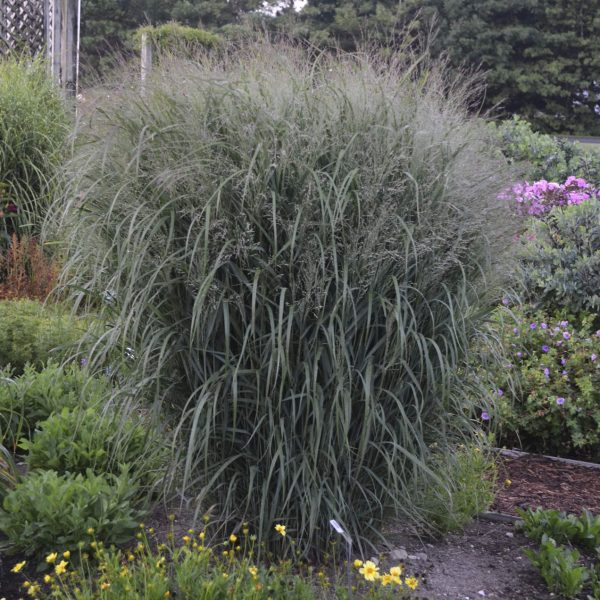 PANICUM PRAIRIE WINDS APACHE ROSE RED SWITCH GRASS