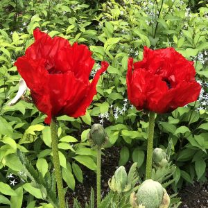 PAPAVER BEAUTY OF LIVERMERE ORIENTAL POPPY