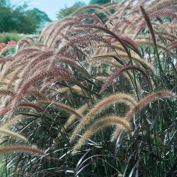 PENNISETUM GRACEFUL GRASSES PURPLE FOUNTAIN GRASS RUBRUM