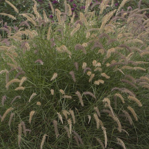 PENNISETUM KARLEY ROSE FOUNTAIN GRASS