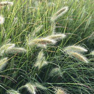 PENNISETUM PRAIRIE WINDS DESERT PLAINS FOUNTAIN GRASS