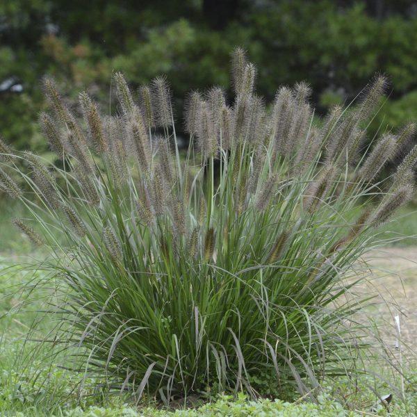 PENNISETUM PUPPY LOVE FOUNTAIN GRASS