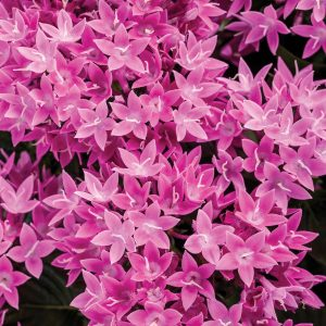 PENTAS SUNSTAR LAVENDER EGYPTIAN STAR FLOWER
