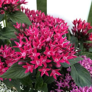 PENTAS SUNSTAR RED EGYPTIAN STAR FLOWER