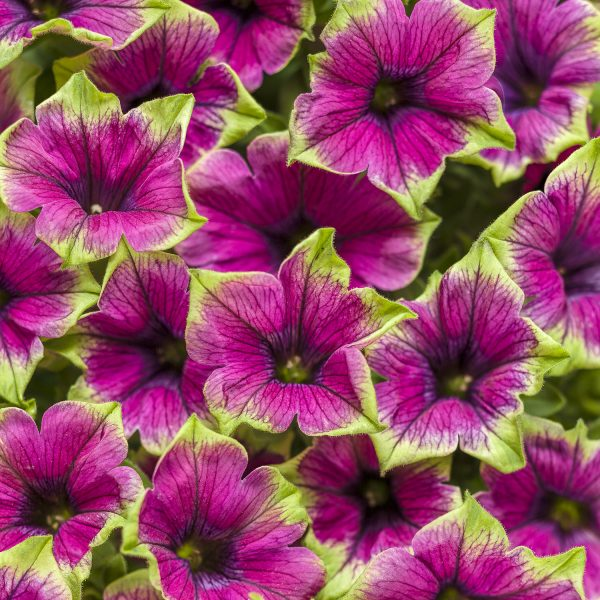 PETUNIA SUPERTUNIA PICASSO IN PURPLE PETUNIA