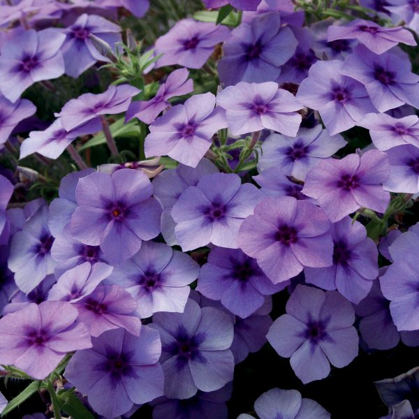 PHLOX INTENSIA BLUEBERRY PHLOX
