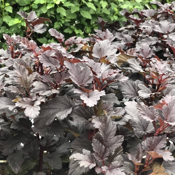 PHYSOCARPUS SUMMER WINE BLACK NINEBARK