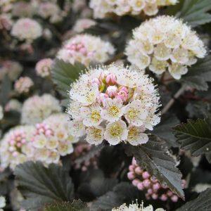 Ninebark -Physocarpus